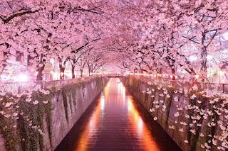 pemandangan terindah di jepang bunga sakura