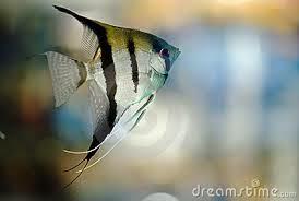 Dunia Ikan Hias - Silver Manfish