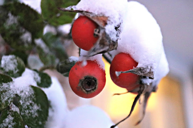 The first snow on rose hips
