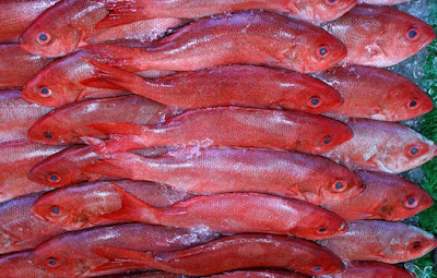 Is Snapper a Salt Water Fish Species Live in Ocean?