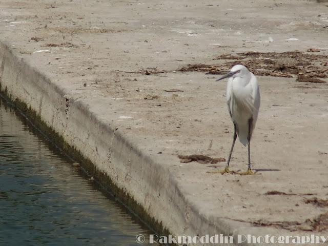 Great Egret at Pashan Lake, Pune, Maharashtra, India