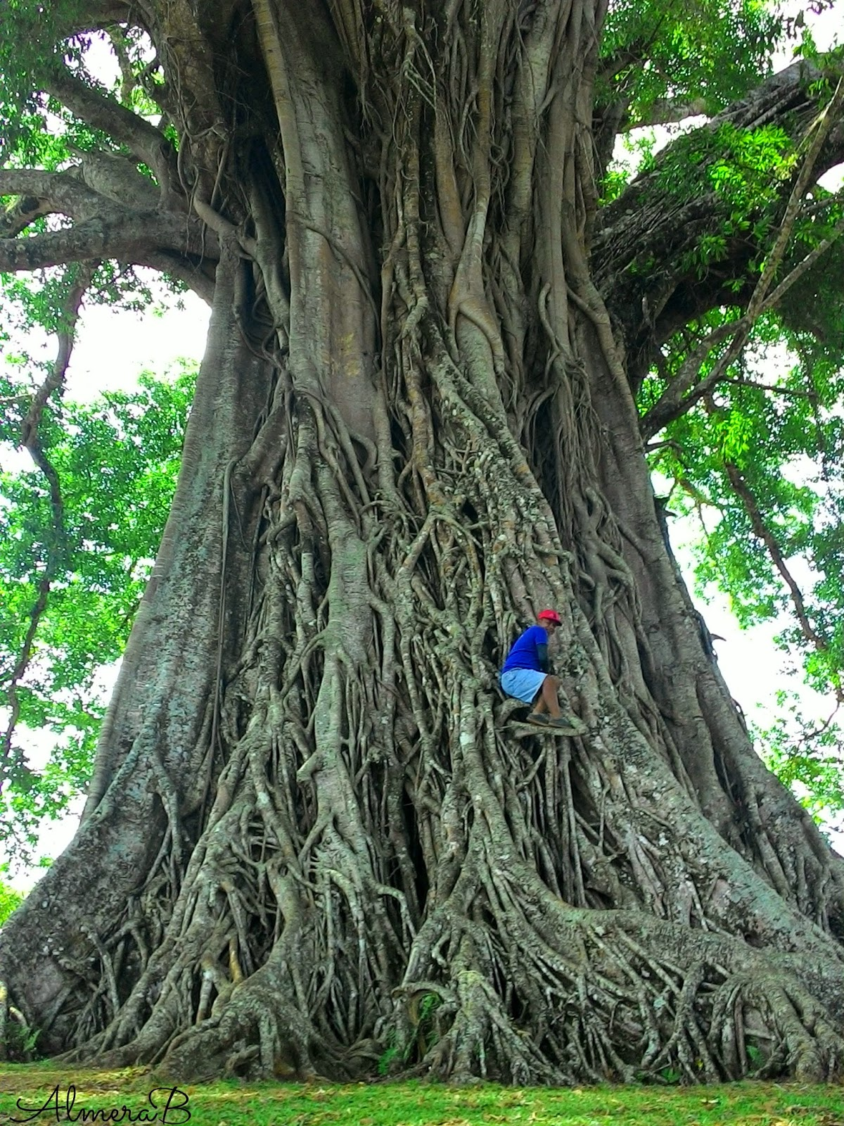 Negros Travels Oldest And Biggest Tree Of Canlaon City