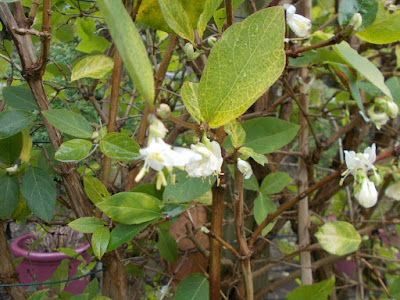 Winter honeysuckle Plants flowering in winter weird weather Green Fingered Blog