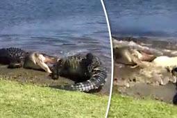 Video Mengerikan, Dua Aligator Besar Saring Serang
