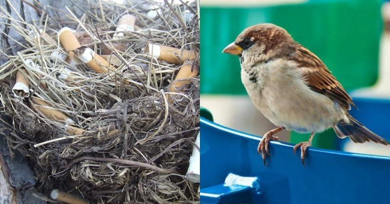 Να γιατί τα πουλιά βάζουν τσιγάρα στις φωλιές τους