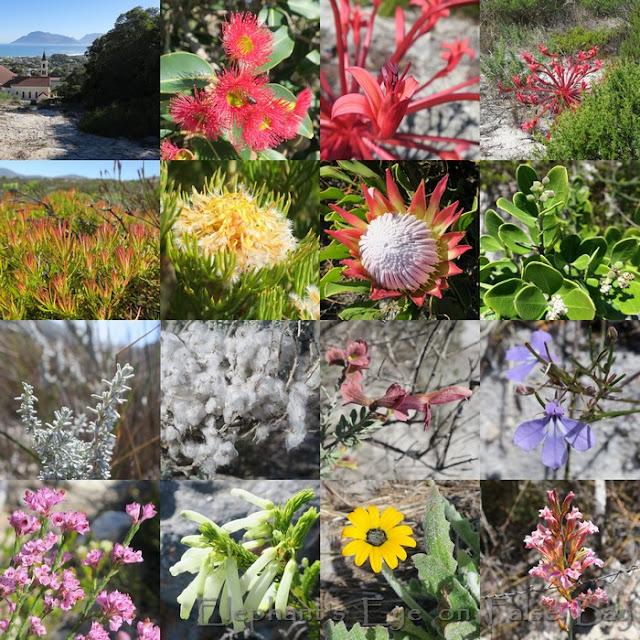 Slangkop  March flowers