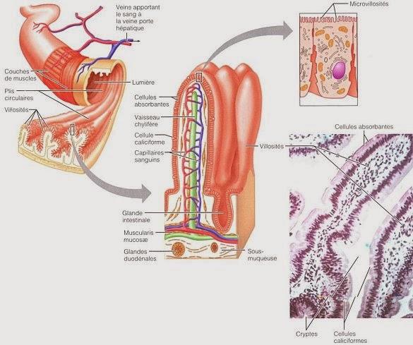 anatomie grêle villosités infirmier