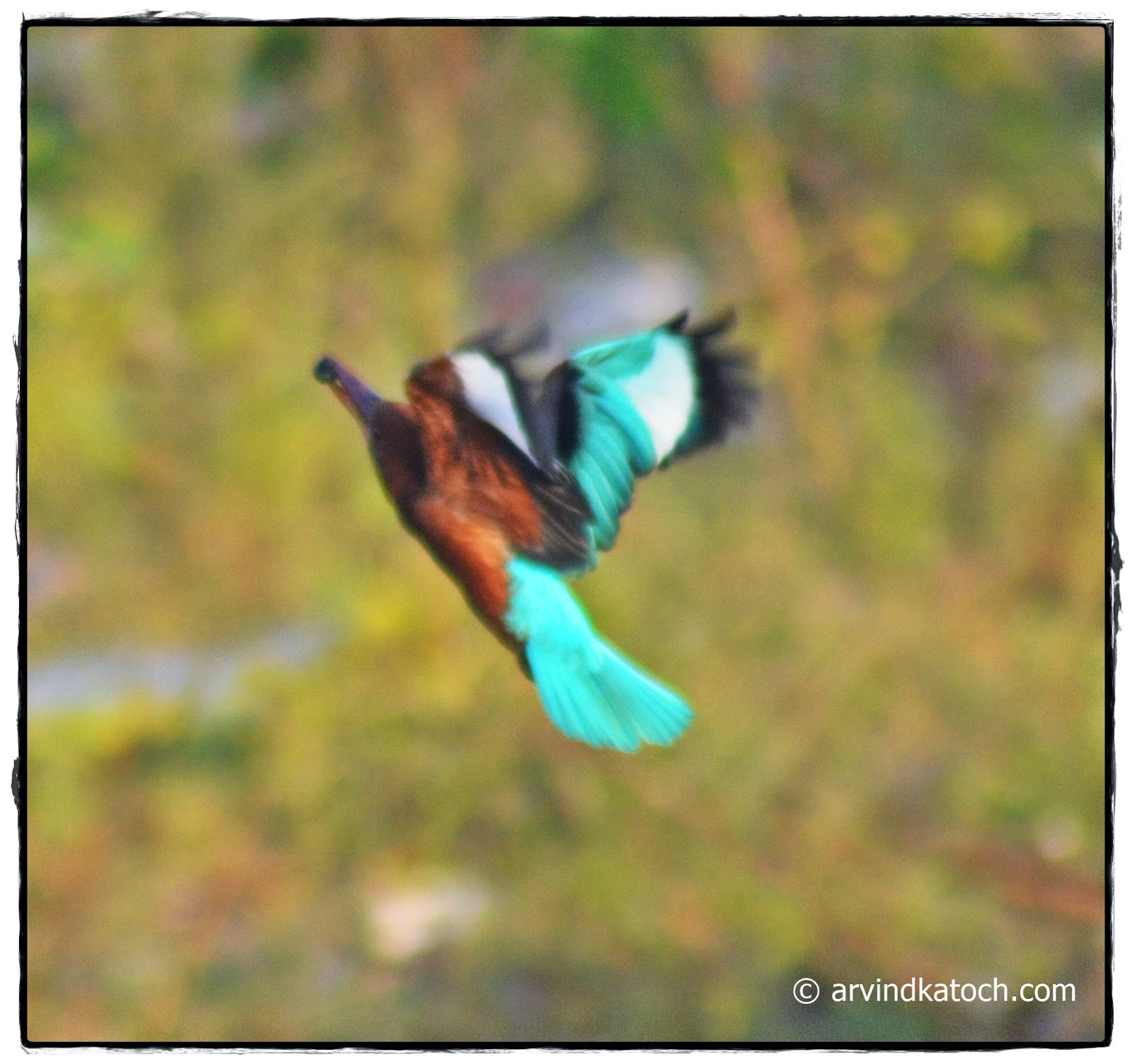 Dive, Kingfisher