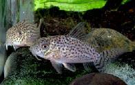 Jenis Ikan Corydoras xinguensis
