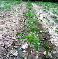 cultivarea tomatelor in camp