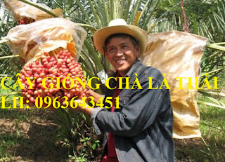 Cung cấp cây giống chà là, cây chà là, giống cây chà là Thái chuẩn, uy tín, giao hàng toàn quốc