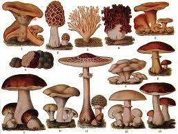 Klasifikasi Jamur : Zygomycota, Ascomycota, Basidiomycota, dan Deuteromycota