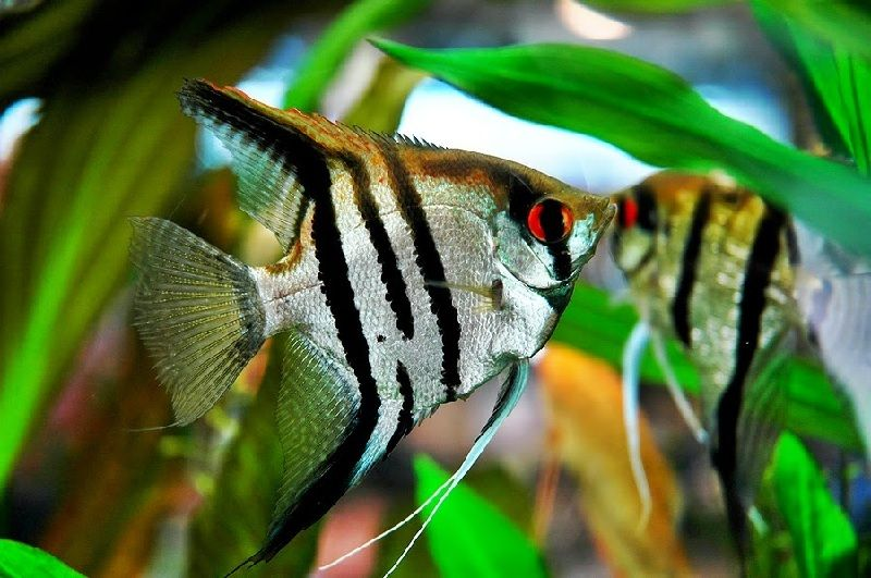 Jenis Ikan Air Tawar Hias