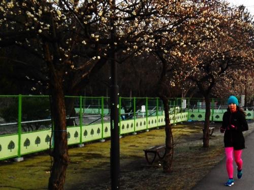 浅春の霞城公園JOG 梅が咲いていました