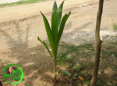 Tanam kelapa gading depan rumah