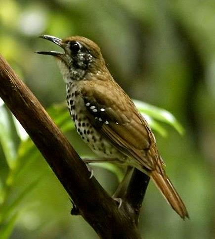Nyanyian merdu burung spot winged thrush