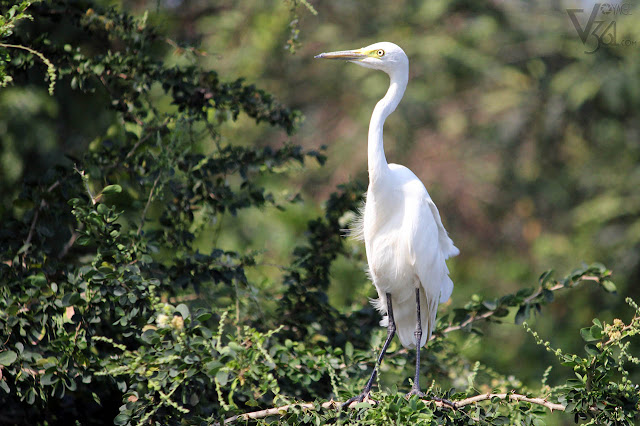 Great Egret at Ranganathittu