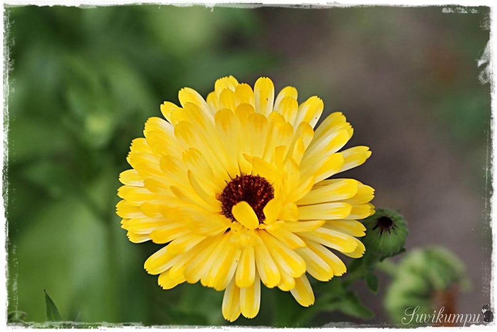 keltainen lupiini Saarijarvi