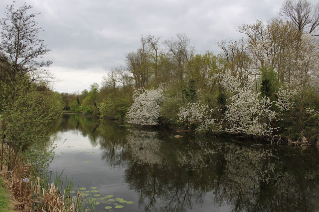 A view of a lake with lily pads and trees leaning over the water including some with white blossom