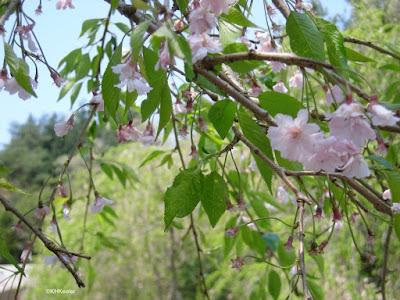 flowering tree, Japan