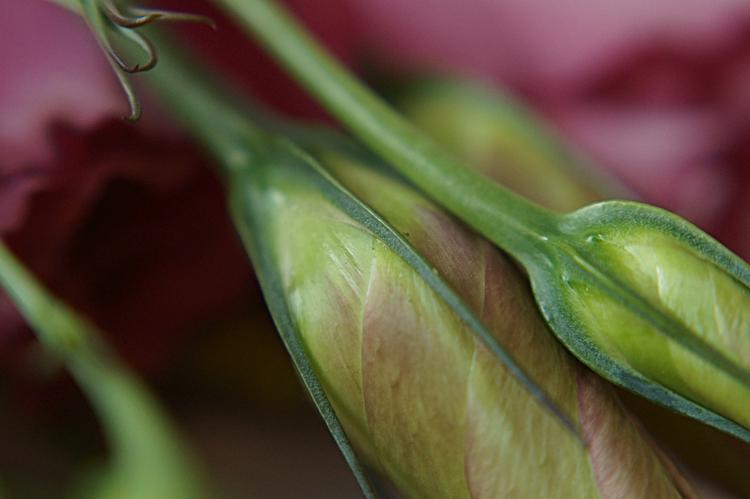 Detail einer geschlossenen Blütenknospe eines Prärieenzians { by it's me! }