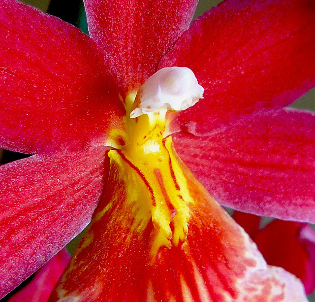 Beautiful Red Cambria Orchid blossom