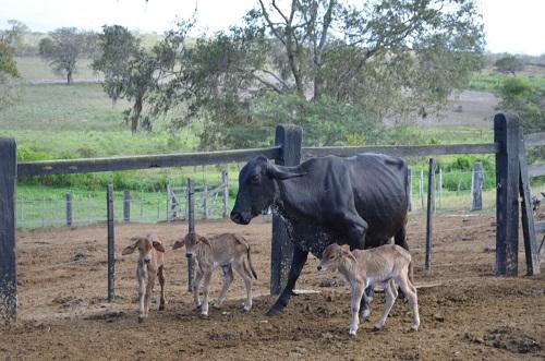 Resultado de imagem para Vaca dá à luz três bezerros na Bahia