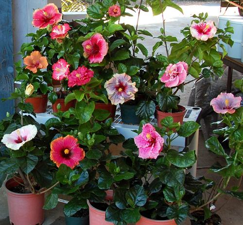 Can I Use Rose Plant Food On A Hibiscus