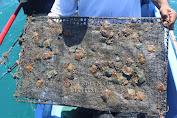 KKP Lepas Puluhan Ribu Kerang Mutiara di Perairan Lombok