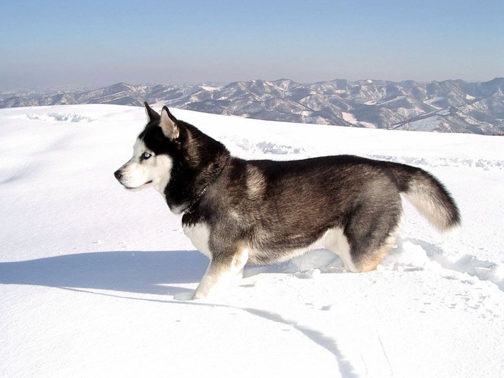wallpapers: Siberian Husky