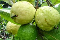 Klutuk Guava ( Jambu Klutuk) for  treat many disease