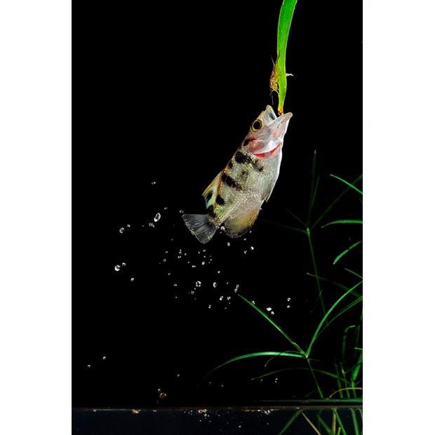 archerfish leap