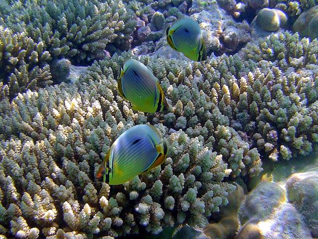 butterflyfish, chagos, indian ocean, salomon archipelago, diego garcia