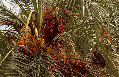 Dates among the palm leaves. Iran