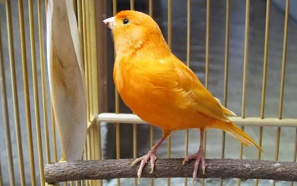 Suara Kicauan Burung Kenari