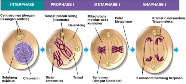 Profase, Metafase, dan Telofase