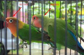 cara membedakan lovebird jantan dan betina umur 2 3 bulan juga dewasa