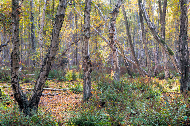 Colourful woodland in Cambridgeshire at Holme Fen in the Anglian Fens