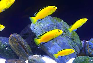 cara membedakan ikan lemon jantan dan betina