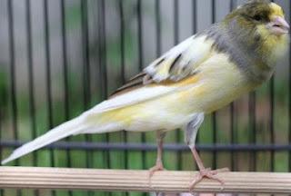 Dengan Melakukan Proses Memandikan Dan Menjemur Burung Secara Rutin Setiap Hri