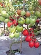 Skripsi Tentang Tomat Mitrariset Contoh Skripsi Tesis 50 Cara Budidaya Tomat Dalam Pot Sumber Ajaran