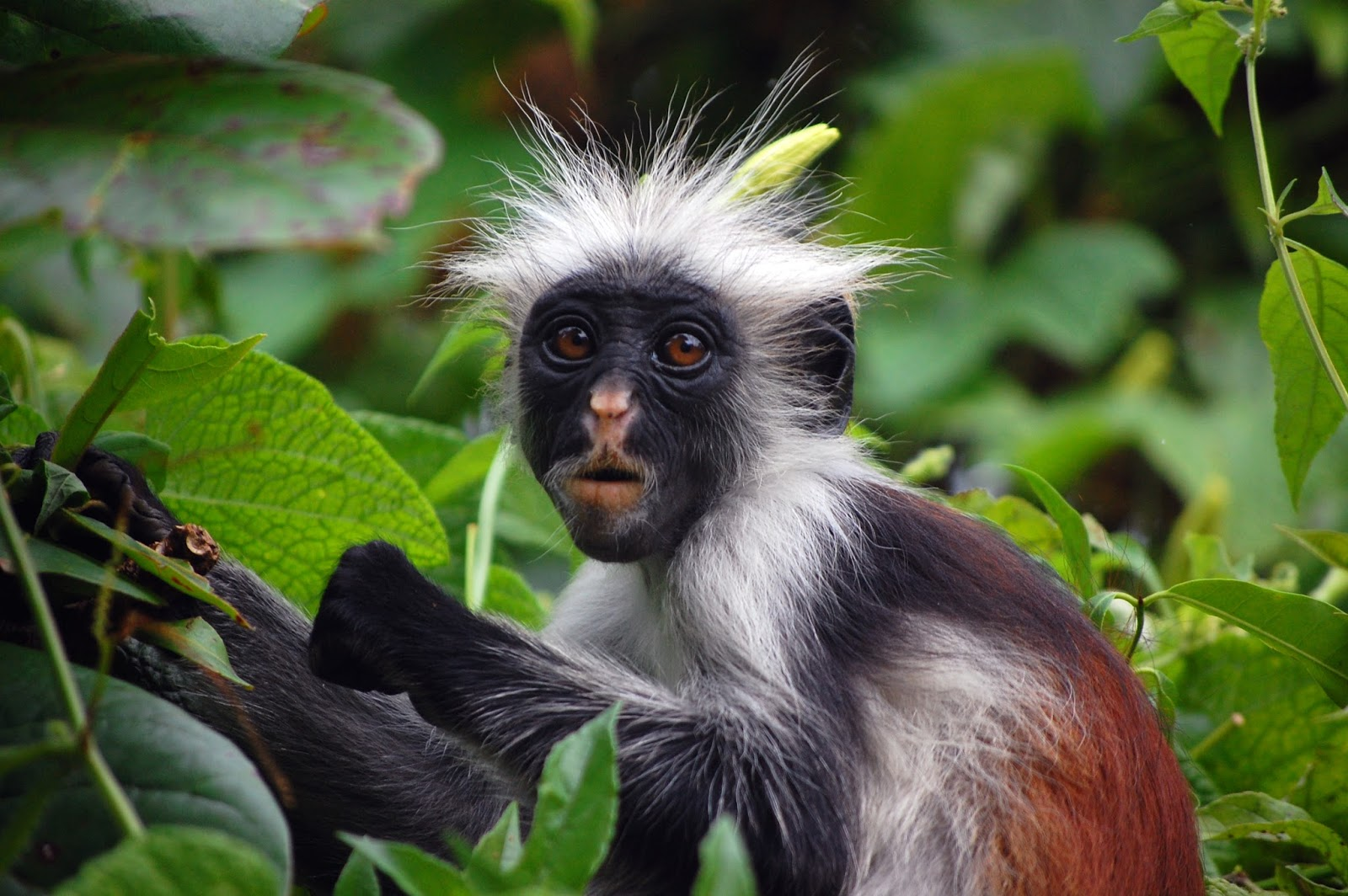 Mammals Animals: Zanzibar Red Colobus Monkey