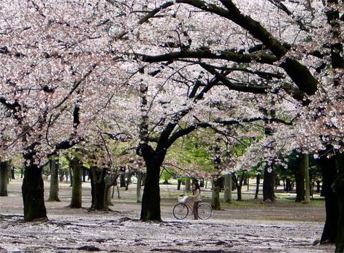 Gambar Gambar Bunga Sakura Yang Indah Dan Cantik Gambat Gambar Paling Terbaru Unik Dan Lengkap