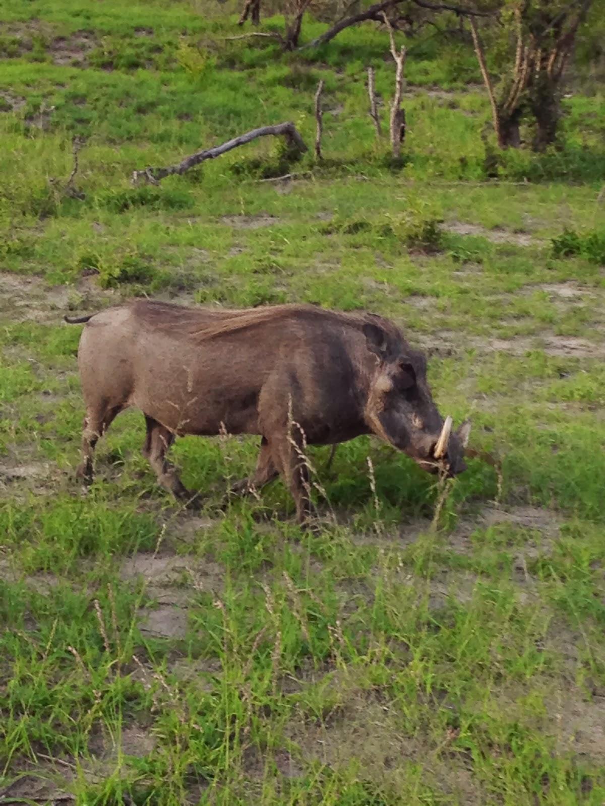 Sabi Sands - Warthog