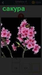 Изображение веточек сакуры, декоративная японская вишня распустила свои розовые бутоны