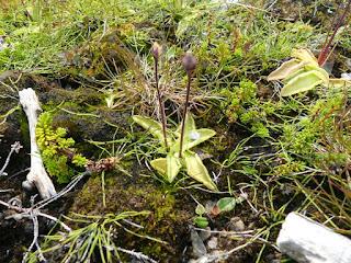 Grassette commune - Pinguicula vulgaris - Grassette vulgaire