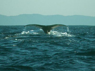 southern right whale, KwaZulu-Natal, South Africa