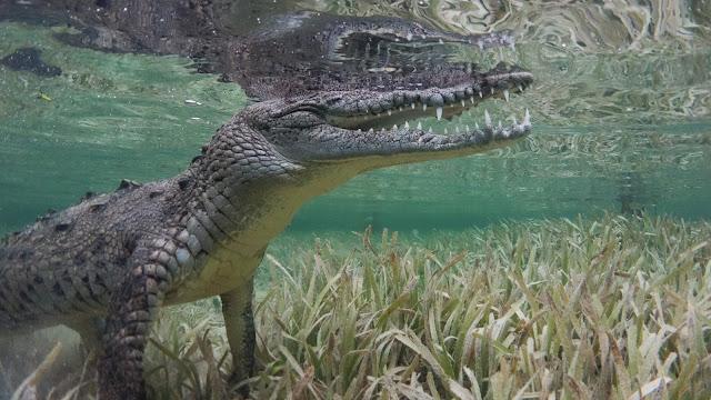 Closeup crocodile footage
