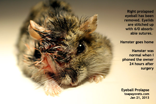 white dwarf hamster with red eyes - photo #29