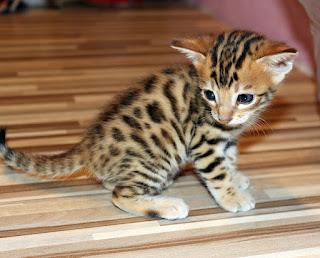 Kucing Bengal Dan Harga Kucing Bengal